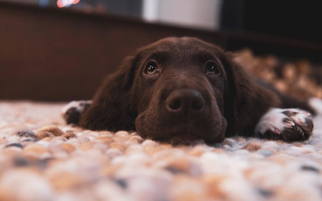 Le comportement du chien