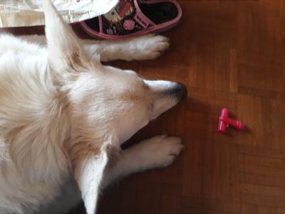 Zoopharmacognosie appliquée Canine avec Paulina Druri